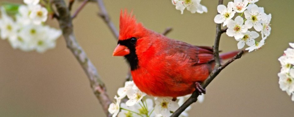 Cardinal among pear tree blossoms